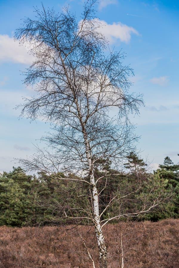 Träd utan sidor på en torr jordning och med grön trädbakgrund med en blå himmel och vita moln royaltyfri foto