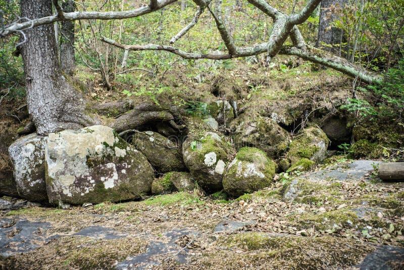 Träd växer på stora stenar i en lös skog fotografering för bildbyråer