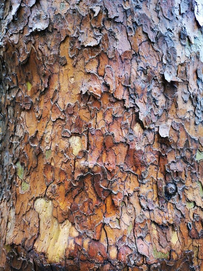 Trädbarktextur - amerikansk sycamore, platanus occidentalis arkivbild