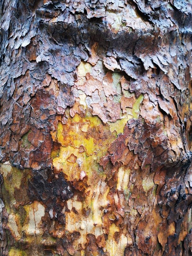 Trädbarktextur - amerikansk sycamore, platanus occidentalis royaltyfria bilder