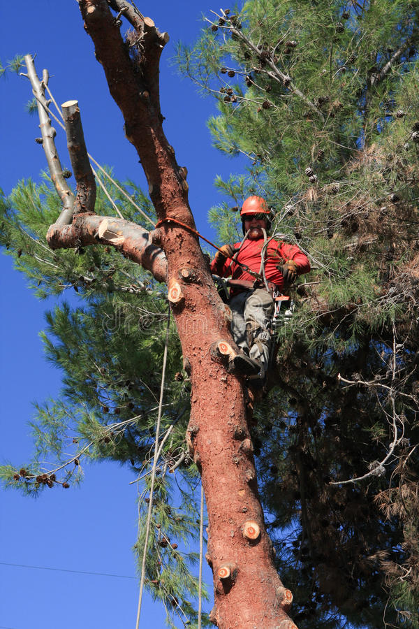 Trädbeskäraren klättrade ett sörjaträd arkivbilder