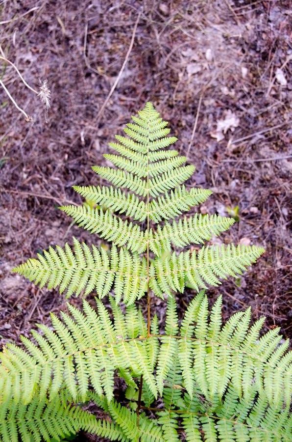 Trädbladet som är stupat på jordningen, ser som julgranen, lila arkivfoton