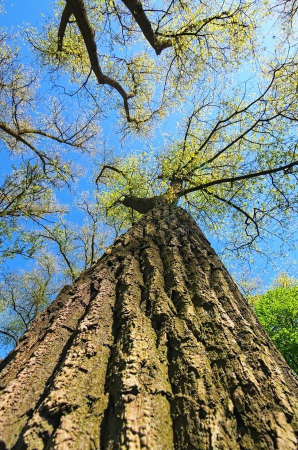Trädblast i en skog över härlig blå himmel stadsdag moscow nära den soliga fjädern för parkbanaramenskoye Selektiv fokus med den  royaltyfria foton