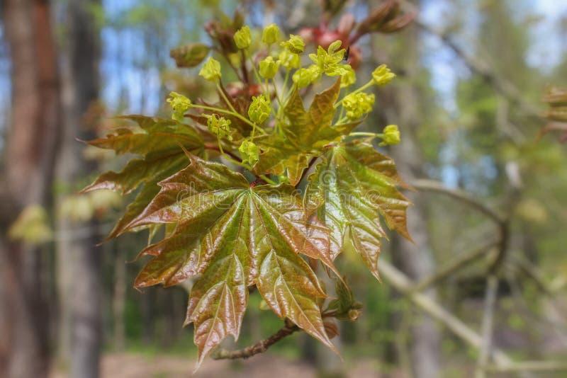 Trädblom av aceren med blured bakgrund royaltyfria bilder
