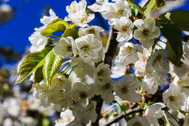 Trädblomma för körsbärsröd blomning arkivbilder