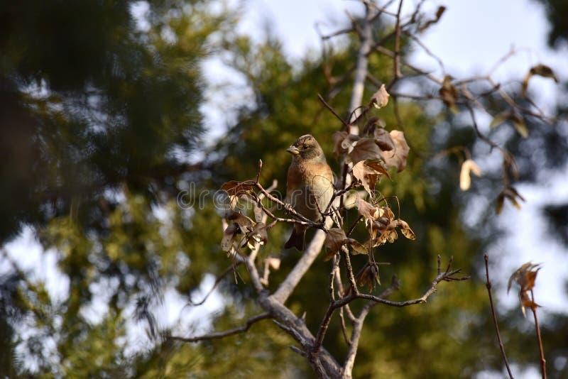 Träden i parkera som söker efter föda sångfågelBrambling arkivbild