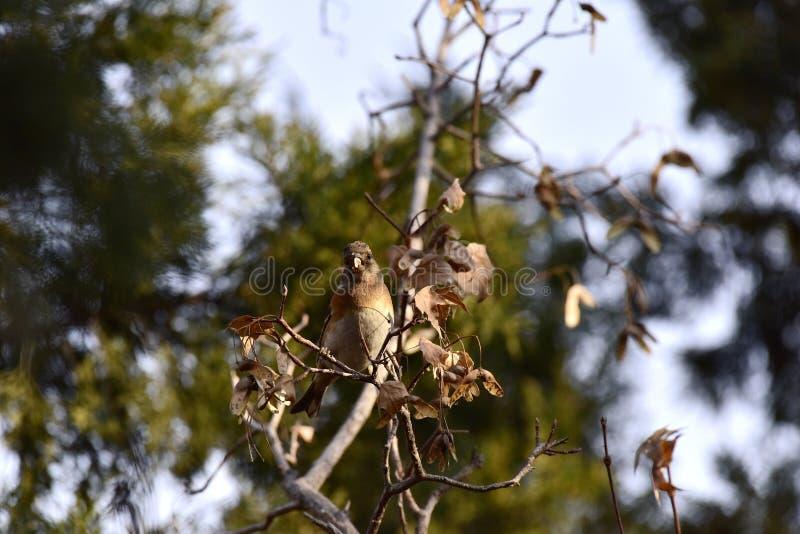 Träden i parkera som söker efter föda sångfågelBrambling royaltyfri fotografi