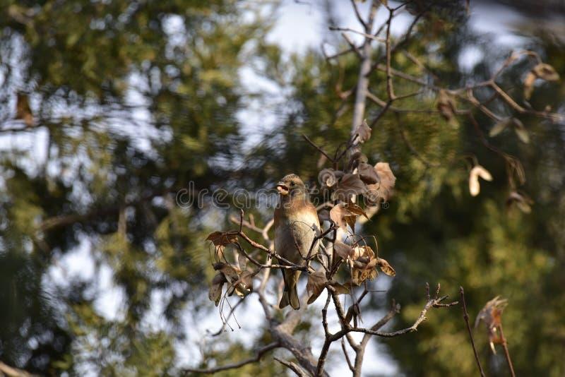 Träden i parkera som söker efter föda sångfågelBrambling fotografering för bildbyråer