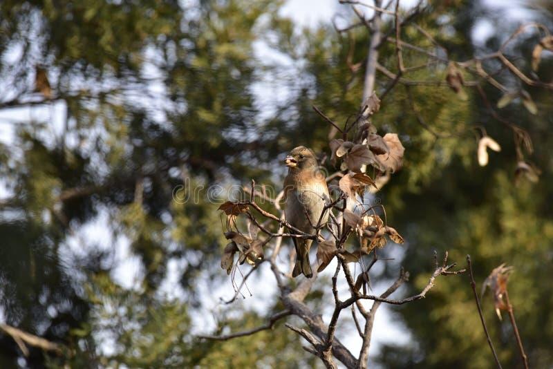Träden i parkera som söker efter föda sångfågelBrambling royaltyfria bilder
