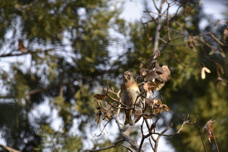 Träden i parkera som söker efter föda sångfågelBrambling arkivfoton