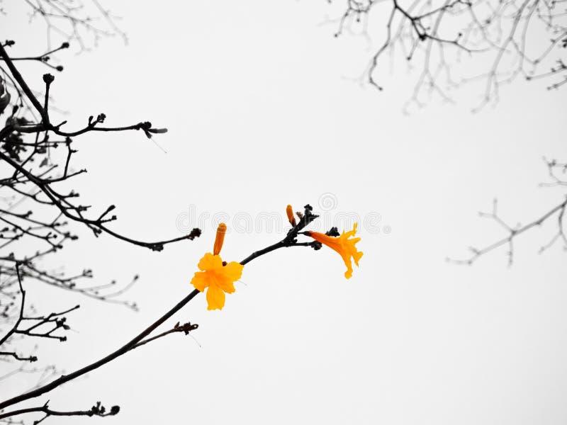 Trädet av det guld- eller guld- trädet blomstrar med filialer arkivbilder