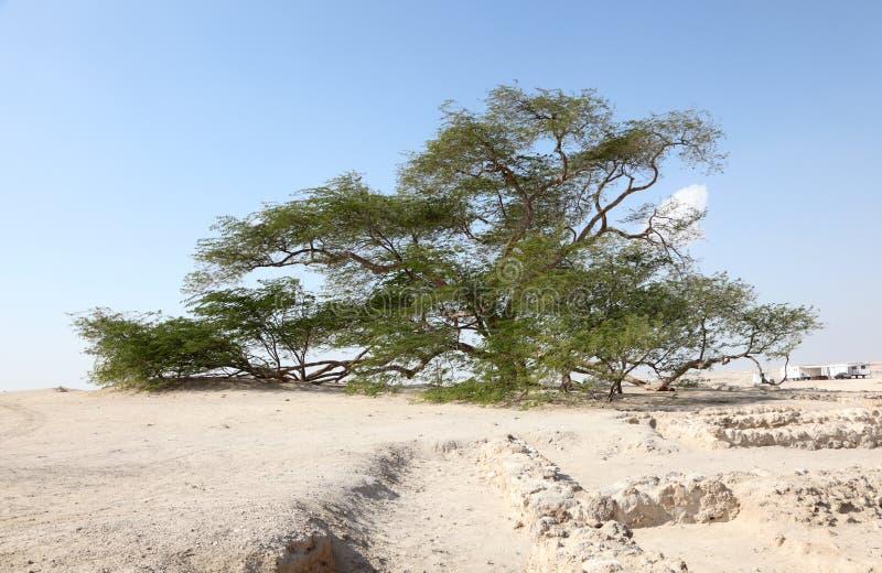 Trädet av liv i Bahrain royaltyfri foto