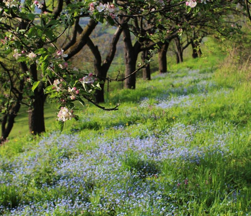 Trädet blommar med en säng av glömmer mig nots royaltyfri bild