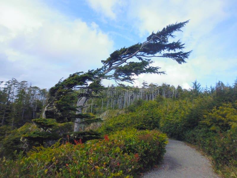 Trädet formade vid vinden, den lösa Stillahavs- slingan, den Vancouver ön royaltyfri foto