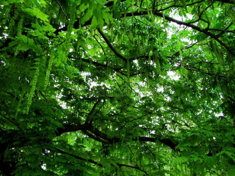 trädet gräsplan, skogen, naturen, bladet, växten, träd, sidor, sommar, våren, trä, landskapet, lövverk, parkerar, förgrena sig, n arkivbilder