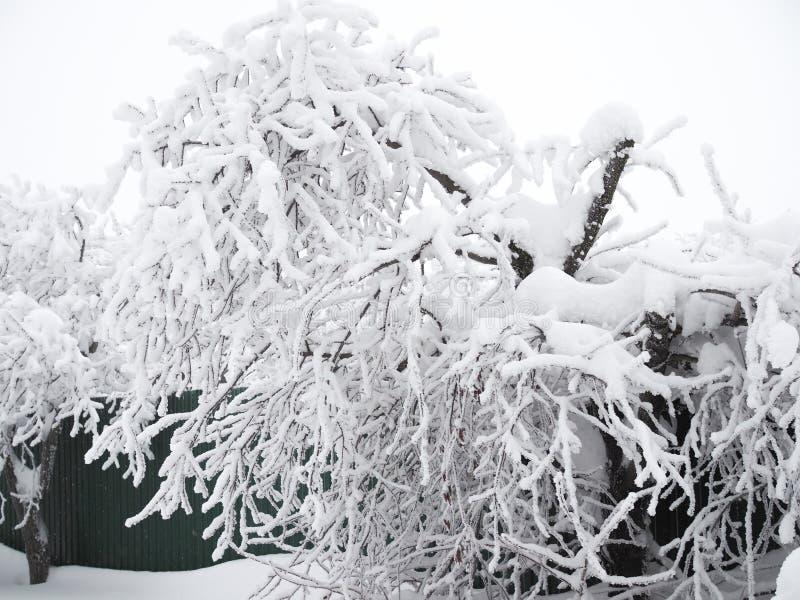 Trädet har böjde på grund av ett enormt lager av snö på dess filialer arkivfoto