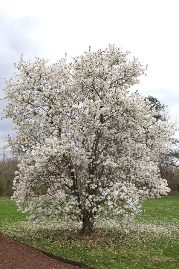 Trädet har blommat för vårsäsongen arkivfoto