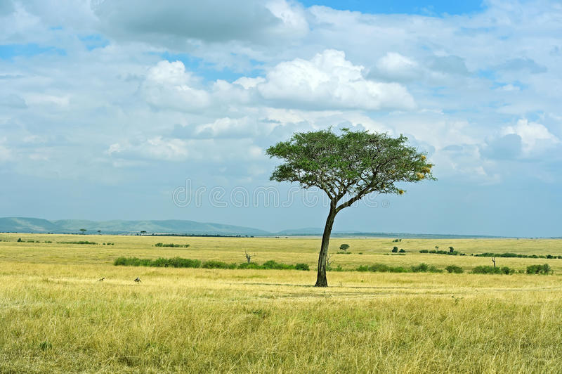 Trädet i den afrikanska savannet royaltyfria foton
