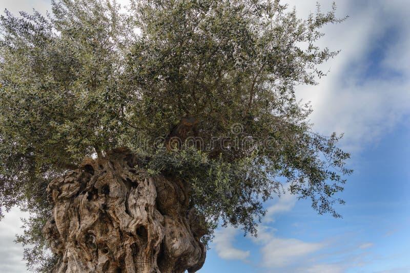 Trädet i evighet: Olivfrukten, känd under det botaniska namnet Olea europaea, betyder 'europeisk olivolja' royaltyfria foton