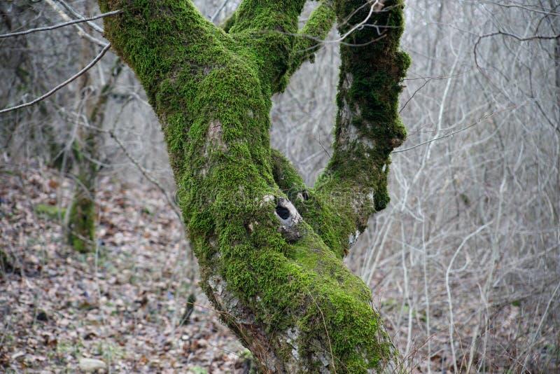 trädet med mossa rotar på i en grön skog eller mossa på trädstammen Trädskäll med grön mossa Azerbajdzjan natur arkivfoton