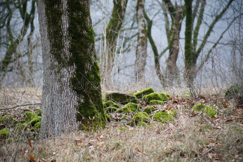 trädet med mossa rotar på i en grön skog eller mossa på trädstammen Trädskäll med grön mossa Azerbajdzjan natur royaltyfri fotografi