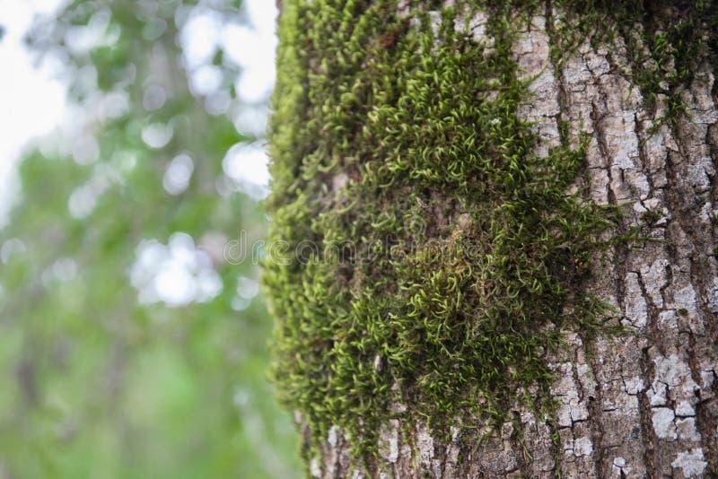 trädet med mossa rotar på i en grön skog eller mossa på trädstammen Trädskäll med grön mossa Azerbajdzjan natur royaltyfri bild