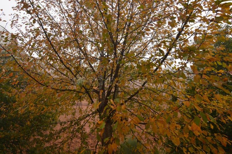 Trädet med nätta sidor förfaller med färger av den Autumn In The Medulas Ancient Roman Gold Mine In A dagen med mycket dimma i Me royaltyfria bilder