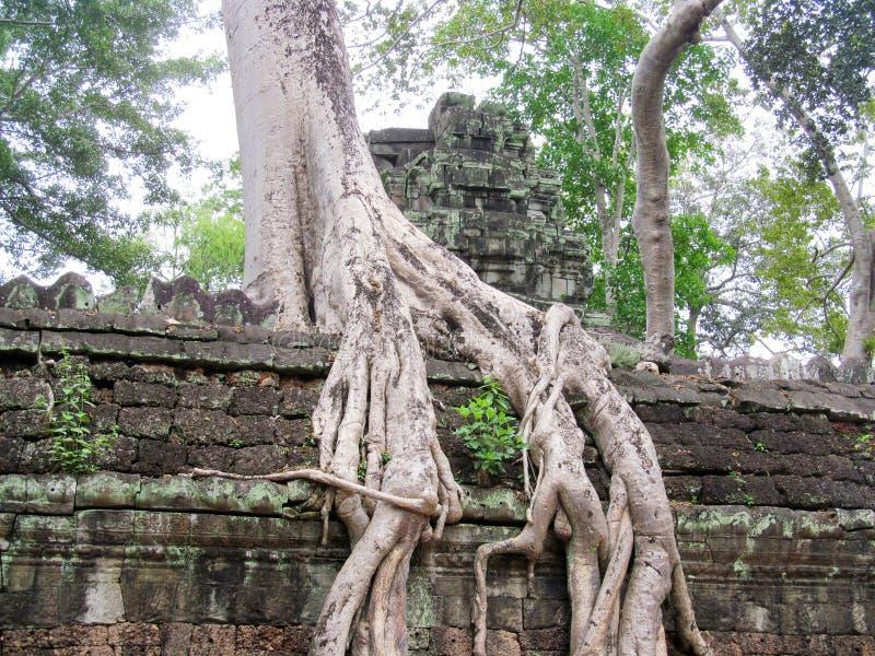 Trädet med stort rotar på väggarna av Angkor Wat fotografering för bildbyråer