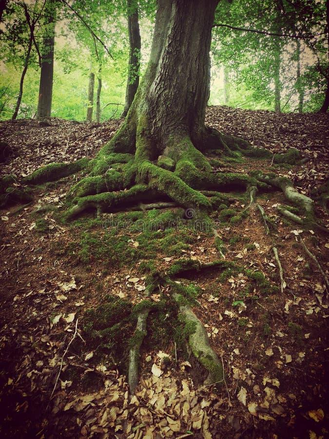 Trädet med synligt djupt rotar täckt av mossa arkivfoton
