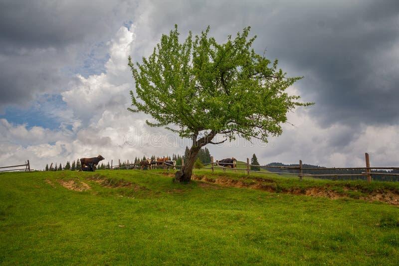 Trädet och kor på ett berg betar arkivfoto