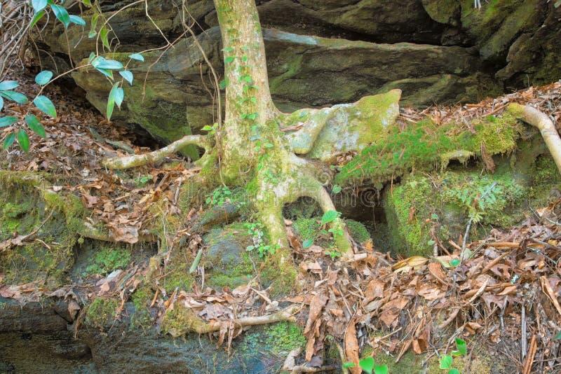 Trädet rotar att klamra sig fast intill vaggar royaltyfri bild