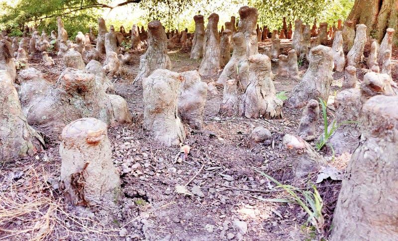 Trädet rotar att likna det skogsbevuxna Meerkat säterit arkivbilder