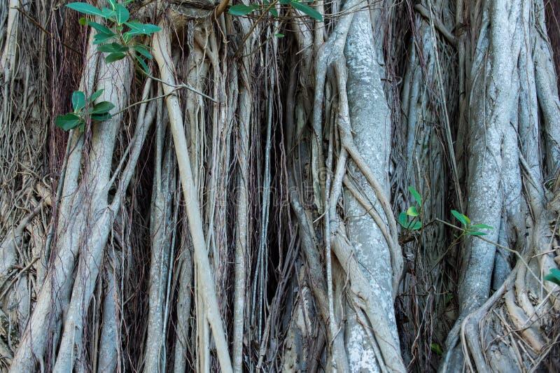 Trädet rotar att växa på den träig stammen royaltyfri bild