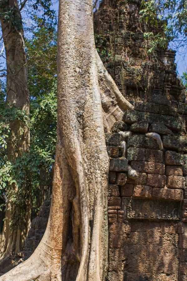 Trädet rotar att växa till och med fördärvar av templet för Ta Prohm arkivfoton