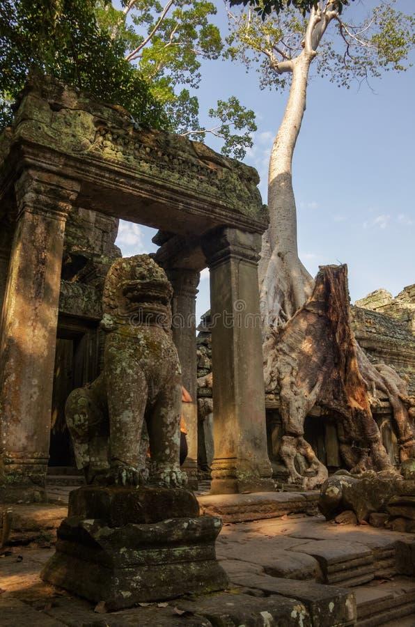 Trädet rotar att växa till och med fördärvar av templet för Ta Prohm på Angko arkivbilder