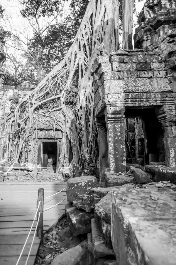 Trädet rotar fördärvar in av Ta Prohm, Siem Reap, Cambodja i B&W royaltyfri foto