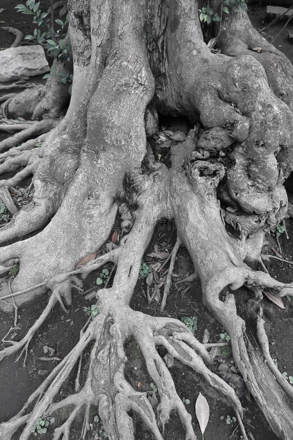 Trädet rotar förvecklingen royaltyfria bilder