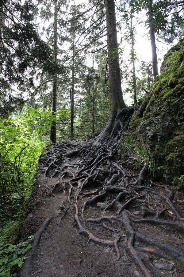 Trädet rotar i skog arkivfoton