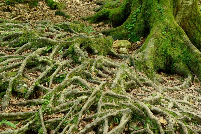 Trädet rotar i skog royaltyfri fotografi