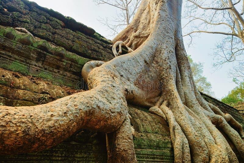 Trädet rotar på templet komplexa Siem Reap för Ta Prohm royaltyfria foton