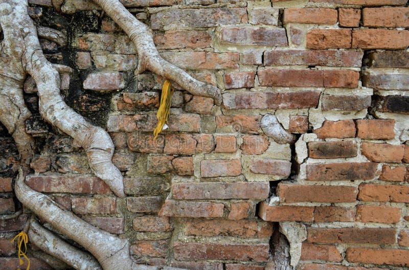 Trädet rotar tillväxt till och med den grungy spruckna forntida tegelstenväggen på templet i Thailand royaltyfria bilder