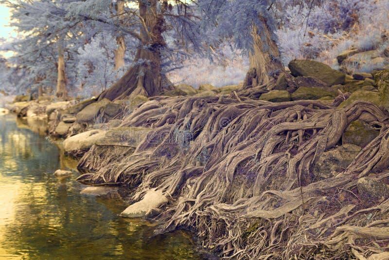 Trädet rotar vid en liten vik arkivbild