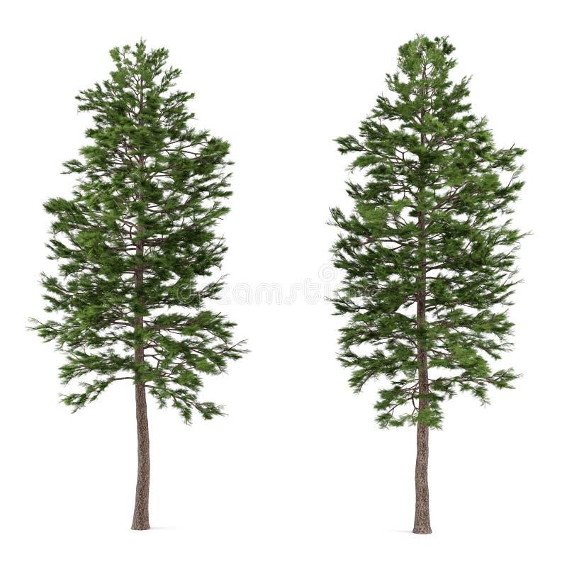 Trädet sörjer isolerat. Pinussylvestris vektor illustrationer