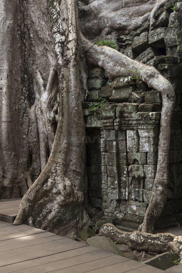 Trädet som växer på väggarna av, fördärvar av templet för Ta Prohm royaltyfria foton