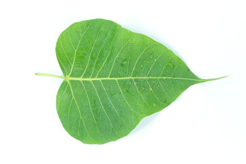 Trädet var sakralt i Hinduism, Jainism och buddism arkivfoton