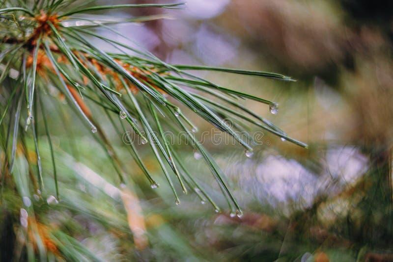 Trädfilial med regndroppar på visarna, selektiv fokus med bokeh arkivfoto