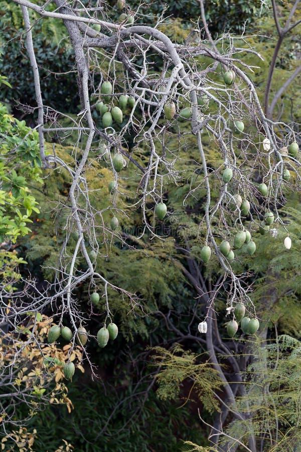 Trädfilialer med överflöd av gröna frukter som hänger från dem royaltyfri fotografi