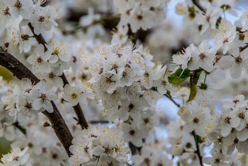Trädfilialer med överflödande vita blom royaltyfri bild