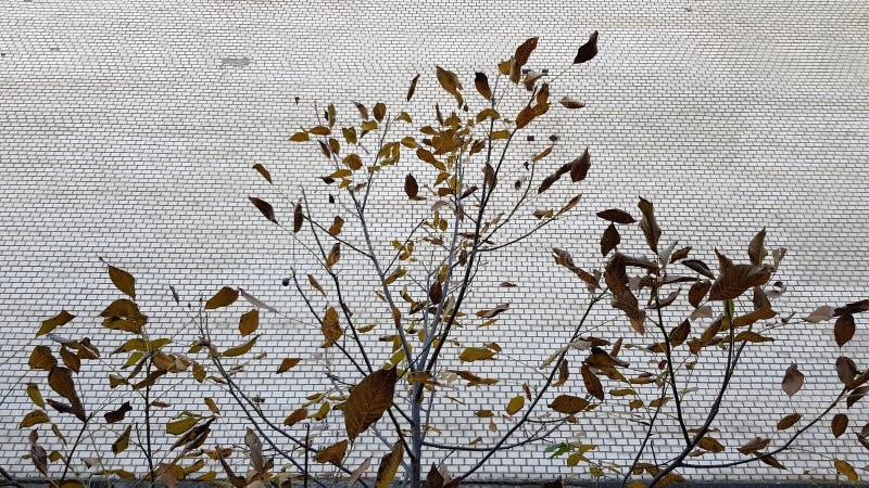 Trädfilialer med bruna torra sidor på belagd med tegel väggbakgrund royaltyfria foton