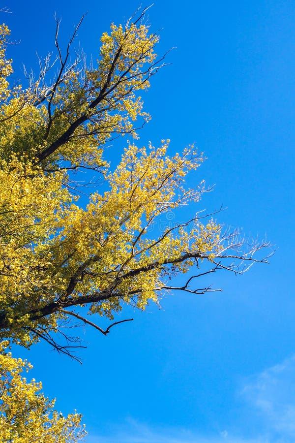 Trädfilialer med gula sidor mot den blåa himlen, vertikalt höstlandskap royaltyfria foton